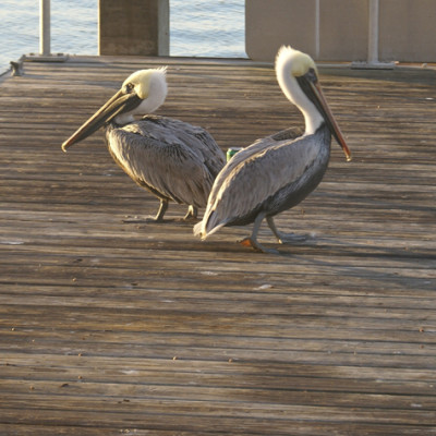 The Ship Store Pelicans Caxambas Park & Boat Ramp Marco Island Florida
